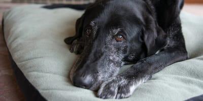 Die Gelenke machen nicht mehr mit: Arthrose beim Hund