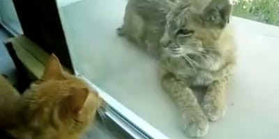 Owners surprised when stray kitty turns out to be a lynx