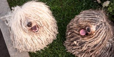 Perros o mopas: 5 razas de perro que parecen una fregona