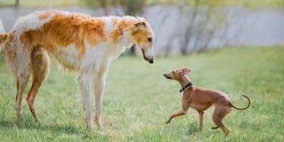 Windhunde: Barsoi und Italienisches Windspiel