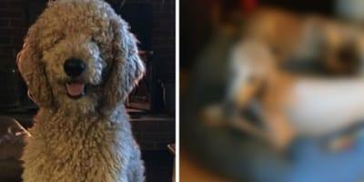 Frauchen holt Labradoodle vom Hundefrisör ab und stirbt vor Lachen!