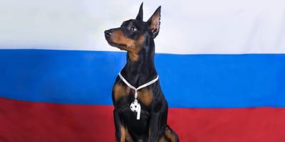 Hund vor russischer Fahne