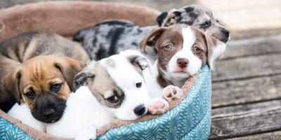 adopción de cachorros