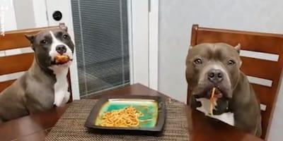 Pitbulle przyłapane na podjadaniu spaghetti udają, że  nic się nie stało. Pękniecie ze śmiechu (VIDEO)