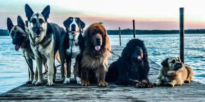 Group of dogs - travelling menagerie