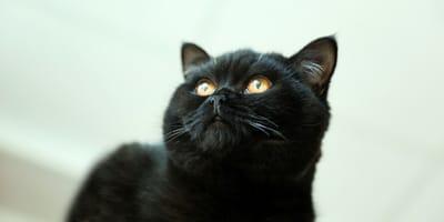 por que hay que adoptar un gato negro