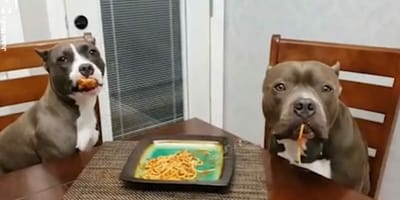 video perros pitbulls comiendo espaguetis pillados