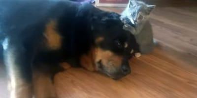 rottweiler y gato