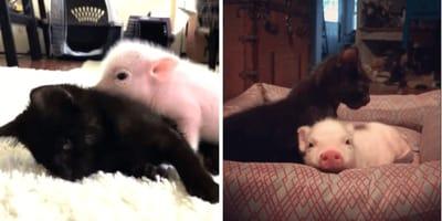 Kätzchen und Ferkel