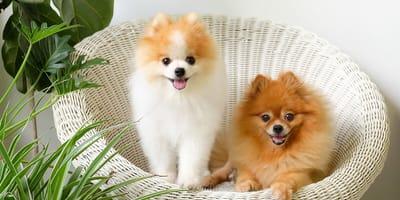 Pies Boo – jaka to rasa? Charakter, zdrowie, pielęgnacja.