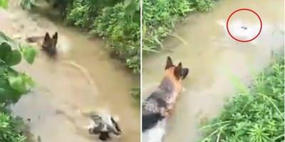 Vídeo: un inteligente pato engaña al pastor alemán que quería cazarlo