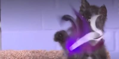 Kitten Valkyrie