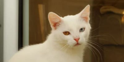 Lost kitty appears FOR SALE online