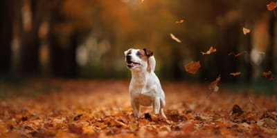 Jack Russell playing in Autumn leaves