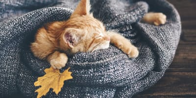 Ginger cat wrapped up in a blanket