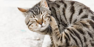 Grey tabby cat itching