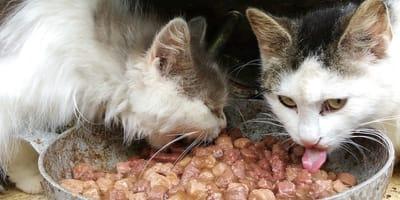 due gatti che mangiano cibo umido