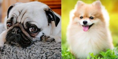 Pug and Pomeranian cross breed