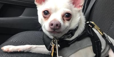 Pablo the Chihuahua smiling in a car