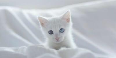 Biały kotek.