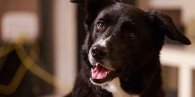 cane bastardino nero