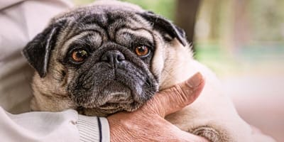 Pug in the arms of an elderly person