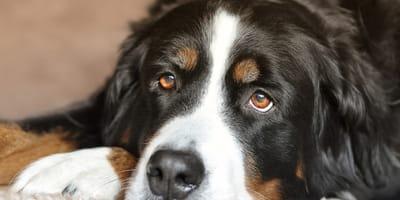 cane-con-sguardo-triste