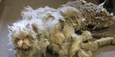 El gato rescatado blanco