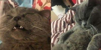 Gatto-blu-di-russia-sorride
