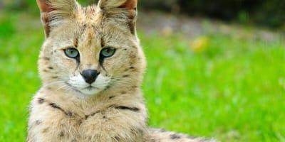 Savannah cat sits on a lawn