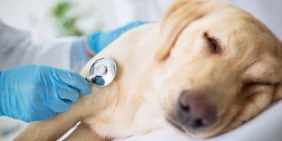 pies badany przez weterynarza