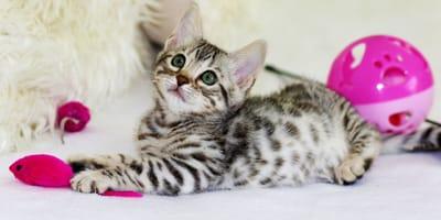 Adopting a cat: male or female?