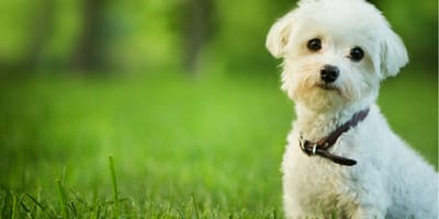 Bichon frise is a small dog breed