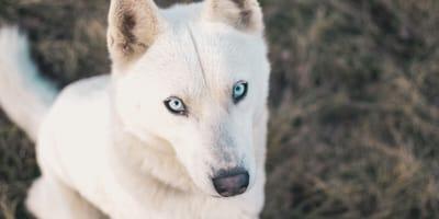 8 White dog breeds