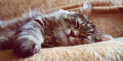 5 hábitos extraños de los gatos (para los amantes de los gatos)