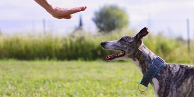 Greyhound dog learning to stay