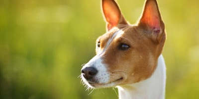 How to spot dog ear problems?