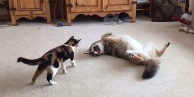 gato y coyote