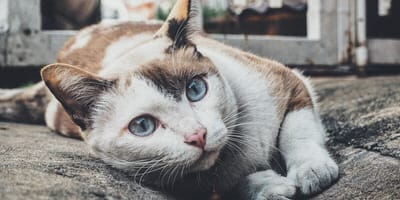 How to treat cat acne?