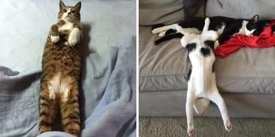 gatos estirandose