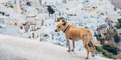 Hund in Santorini in Griechenland