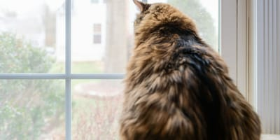 Maine-Coon-Katze mit menschlichem Gesicht