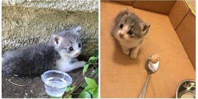 gattina-bianca-e-grigia