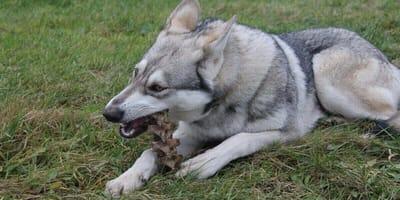 husky-che-mangia