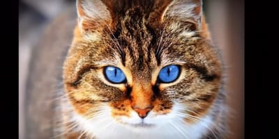 Kot ojos azules – kot o chabrowych oczach