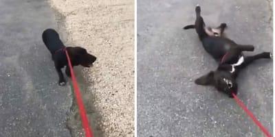 Labrador upada podczas spaceru. Przechodnie są wystraszeni, a opiekun… (VIDEO)