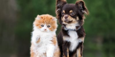 Chihuahua dog and ginger kitten