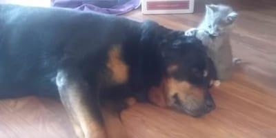 Rottweiler_i_maly_kot_gryzie_ucho
