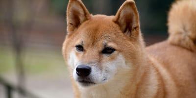 Uważa, że jej shiba inu jej nie lubi: wtedy dowiaduje się czegoś, o czym powinien wiedzieć każdy opiekun psa