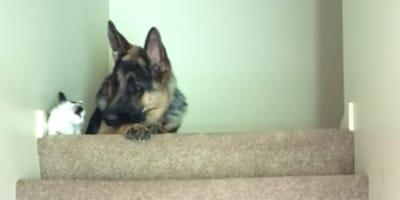 Schäferhund sieht Kätzchen: Panisches Frauchen begreift und zückt die Kamera!